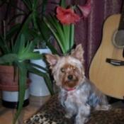 Princess 'ChaCha' (Yorkshire Terrier)