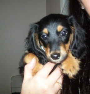Black and tan mix breed puppy.