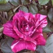 Purple tiger rose.