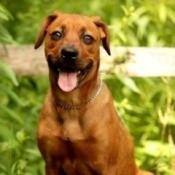 Reddish brown dog.