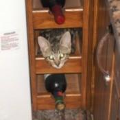 Chop-Chop (Tabby Cat)
