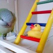 Rascal (Parrot)