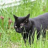 Smokey (Black Cat)