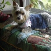 A yorkie sitting on a window seat.