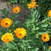 bright calendula flowers