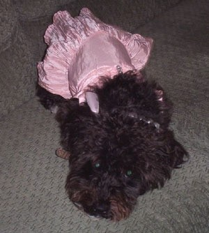black dog wearing pink outfit