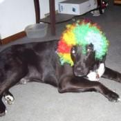 dog with headress