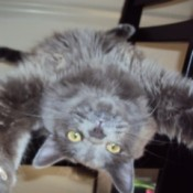Grey cat lying upside down.