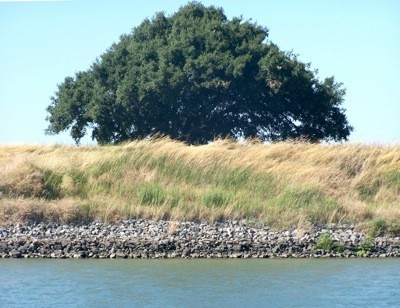 Tree at California Delta