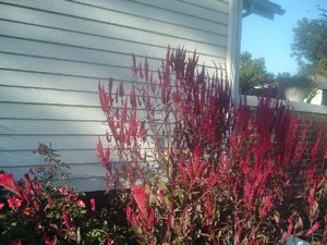 tall celosia plant next to house