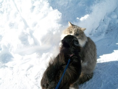 Pomeranian and a long hair cat in the snow.