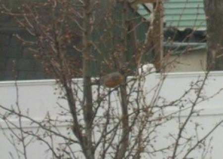A robin on a newly budding tree.