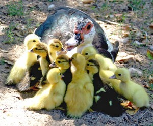 Gooding and Ducklings (Muscovy Duck)