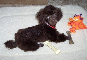 Black toy poodle puppy.