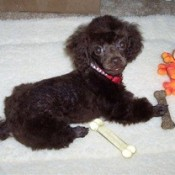 Black toy poodle puppy.
