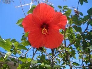 Hibiscus Bush