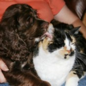 Cocker and calico cat.