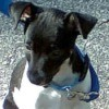 Taz (Rat Terrier)