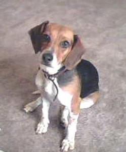 Baby (Beagle)