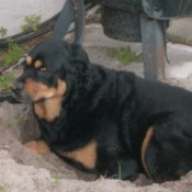 Lacey (Rottie/Chow Mix)