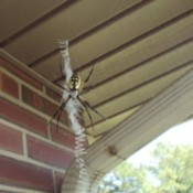 A black and yellow argiope spider.