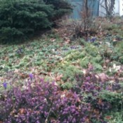 Heather and Purple Crocuses