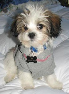 Small dog with gray sweater