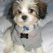 Small Shih Tzu dog with gray sweater