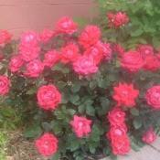 Double knock out rose bush.
