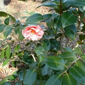 A pink flower on a shrub