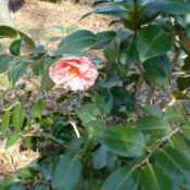 A pink flower on a shrub