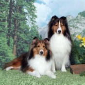 Patty and Creede (Shetland Sheepdogs)