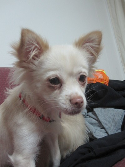 Mitsy (Long Haired Chihuahua)