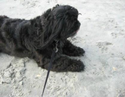 Jessie Jaynes (Shih Tzu) - Black dog in the sand.