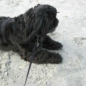 Jessie Jaynes (Shih Tzu) - Black dog in the sand.