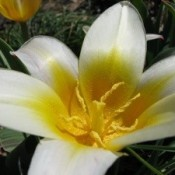 white flower with bright yellow center