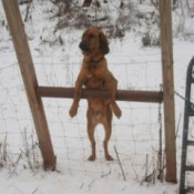 dog looking through fence