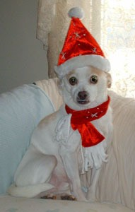White and tan dog with hat.