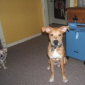 Yellow dog with big ears.