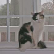 Calico cat by window.