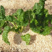 swiss chard growing in wood chips