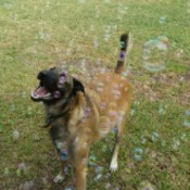 A dog with bubbles outside.