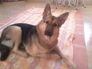 What Breed is My Dog? German Shepherd