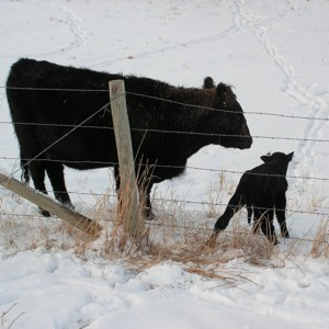Black cow and calf.
