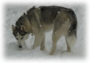 Nanuk (Siberian Husky)