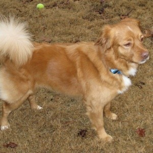 Tan dog with fluffy tail.