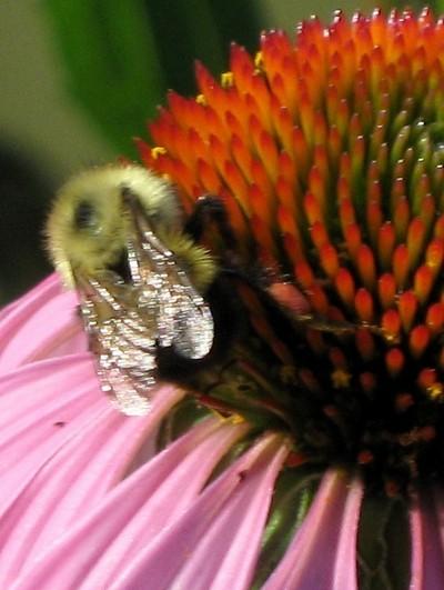 closeup of bumble bee