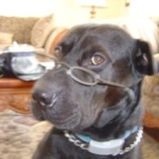 Black dog wearing glasses.