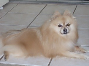 White and tan Pomeranian laying on a tile floor