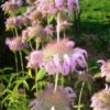 Pink flowers along stem.